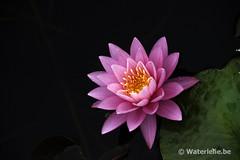 DSC_8489 Nymphaea Perry's Super Rose