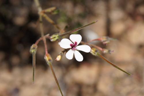 Pelargonium senecioides