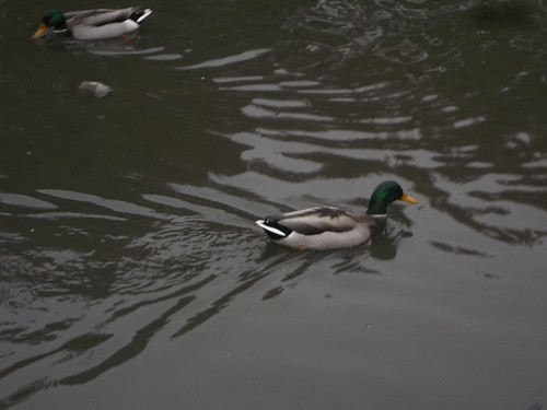 Canada Geese in High Park, Toronto (2)