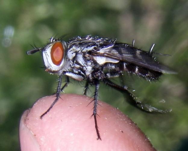 Exorista larvarum 15598727355_585740a33c_o
