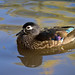 Canard branchu ♀ / Wood duck