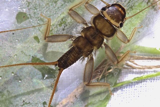 Header of Acroneuria arenosa