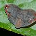 Small photo of Leafhopper (Ricaniidae)