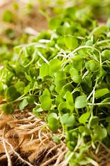 Raw Green Arugula Microgreens