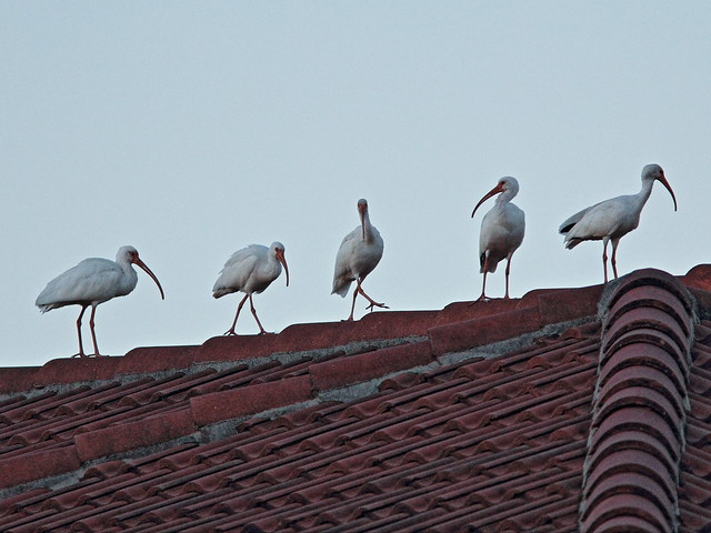 White Ibis chorus line 20141028