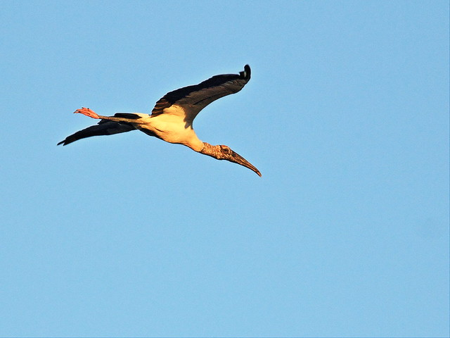 Wood Stork at dawn 20141028