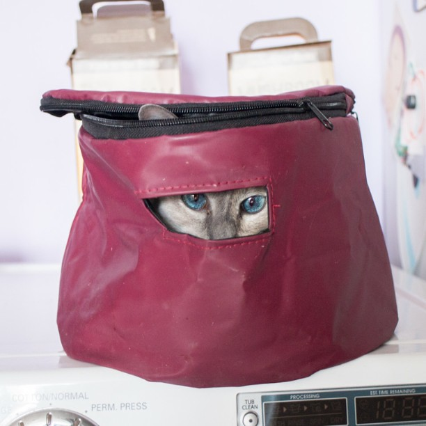 Couldn't find Xanadu, looked all over. Then I spotted bright blue eyes coming out of the crockpot bag. There she was. Somehow she opened it up, jumped inside, closed it and then went to sleep. #cats #cat #catsofinstagram #blueeyes #xanadu #siamese #siam