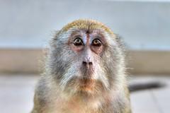 tufted capuchin(0.0), capuchin monkey(0.0), marmoset(0.0), japanese macaque(0.0), animal(1.0), monkey(1.0), mammal(1.0), fauna(1.0), close-up(1.0), old world monkey(1.0), new world monkey(1.0), macaque(1.0), wildlife(1.0),