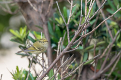 11黃腰柳鶯