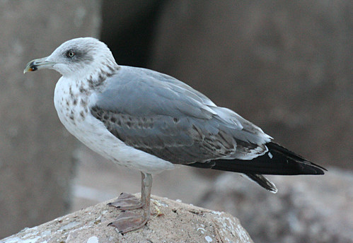 Yellow-legged Gull Larus michahellis Sagres, Portugal October 2014