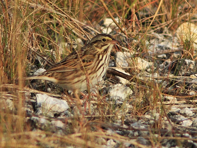 Savannah Sparrow 3-20141104