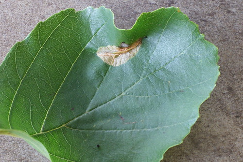 Phyllonorycter stettinensis mine on Alder