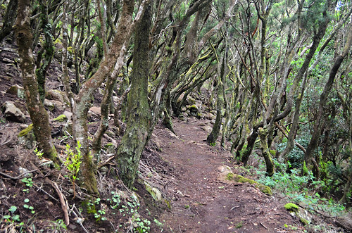 Forest walking, Teno, Tenerife