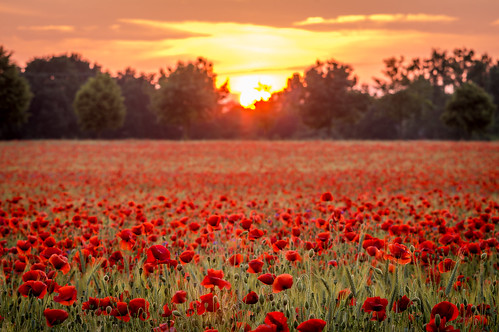 sunset sun germany deutschland europa europe sonnenuntergang saxony leipzig sachsen poppy poppies sonne mohn mohnfeld poppyfield rokkor minoltamctelerokkorpf135mmf28 sonynex3n