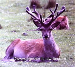 Red Stag in Velvet