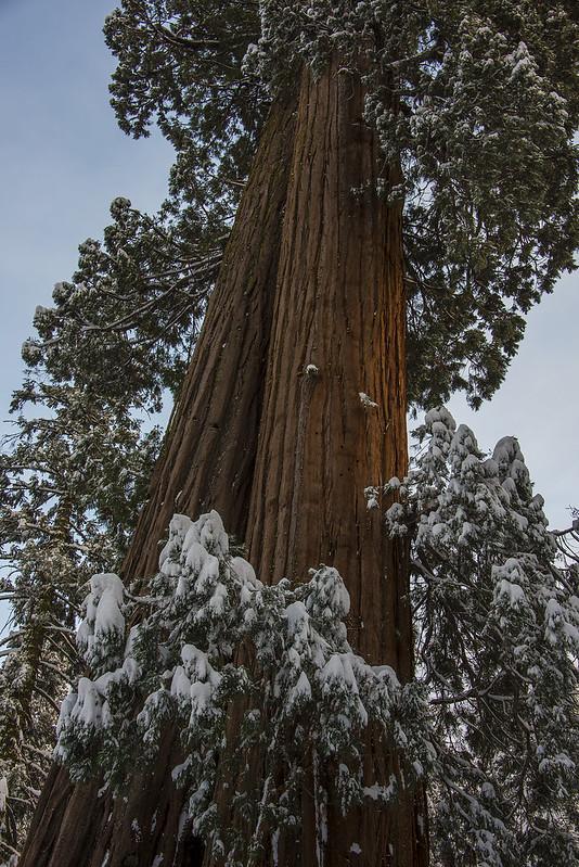 Double Sequoia