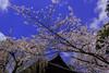 増上寺の桜・Cherry Blossoms at Zōjō-ji