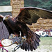 Águila por laap mx