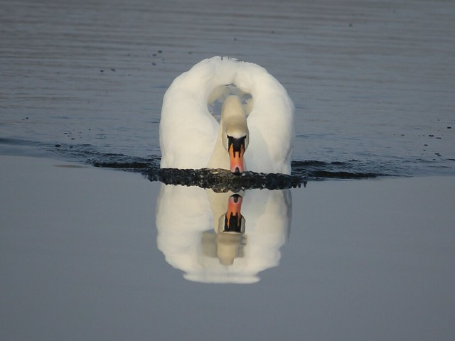 Sipping Swan.