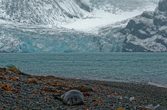 Perhaps the off-course crabeater seal liked the look of the glacier DSC05249 King Haakon Bay, South Georgia