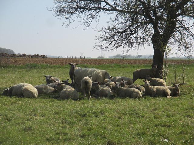 Troupeau de moutons en, Canon IXUS 145