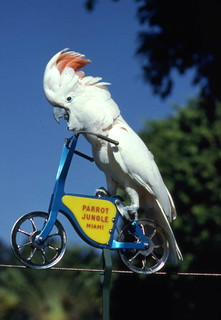 Cockatoo riding a bicycle at Parrot Jungle - Miami