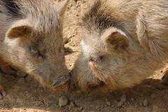 Porcs vietnamiens