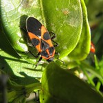 vadpaprika-bodobács - Tropidothorax leucopterus