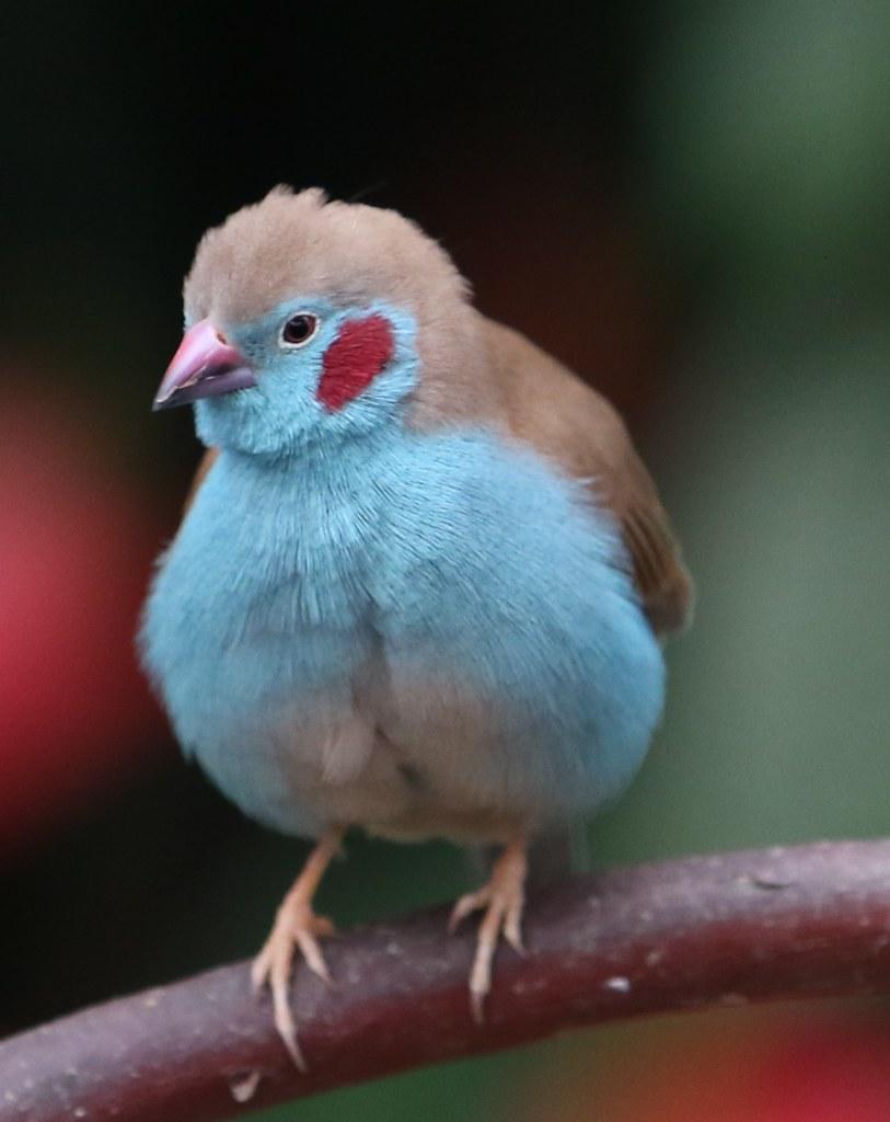 Red Cheeked Cordon Bleu Finch