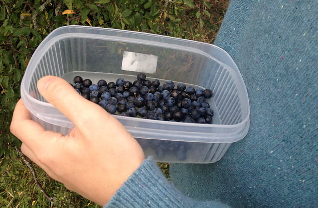 sloe picking