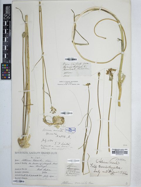 Header of Allium Vineale
