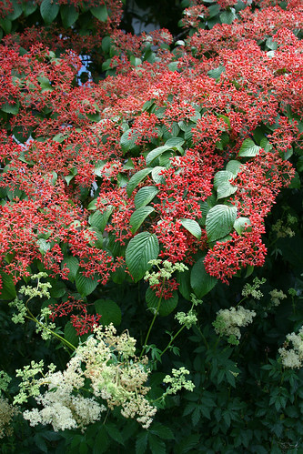 16_viburnum_close
