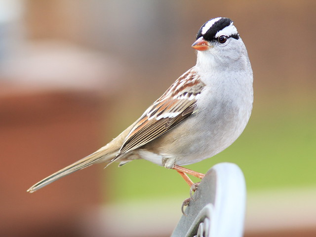 White-crowned Sparrow 05-20141010