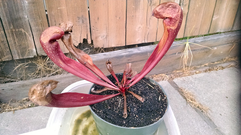 Sarracenia x formosa (psittacina x minor)
