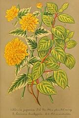 Japonica. (Kerria japonica var. pleniflora foliis variegatis). and Japanese honeysuckle. Lonicera japonica var. aureo-reticulata (as Lonicera brachypoda var. aureo-reticulata) Illustrierte Garten-Zeitung (1865)