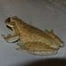 Small photo of Scinax cf. fuscivarius