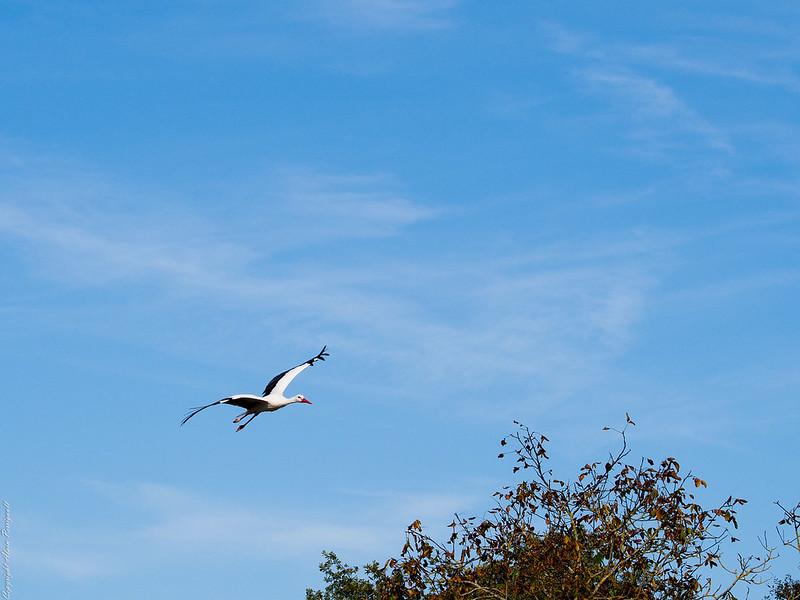 Grands oiseaux 15404823517_aae8e6bbeb_c