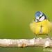 Chapim-azul rechonchudo