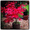 Autumn working its magic again - this time on an acer in our garden.