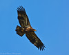 Immature Bald Eagle Soaring
