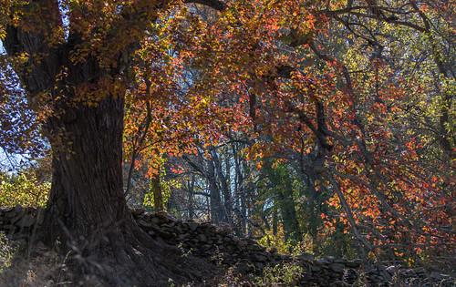 tree autumn stonefence fall foliage fallcolor leaves leaf wangwei bonniecoatesott