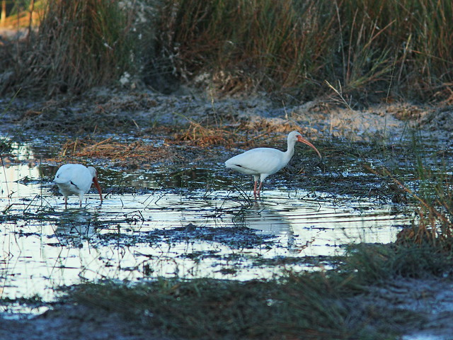 White Ibises in mud puddle 20141028