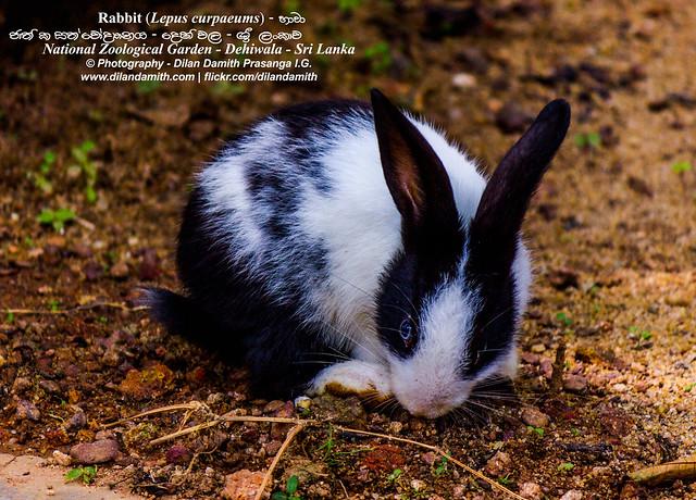 Dilan Damith Prasanga's - Rabbit - u0dc4u0dcfu0dc0u0dcf