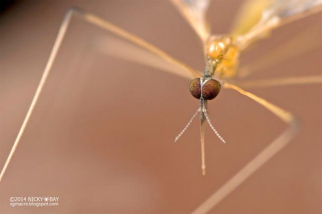 Crane fly (Tipulidae) - DSC_7647