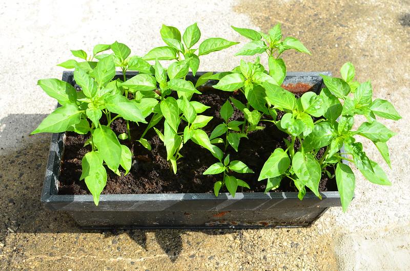 Kashmiri chilli plants