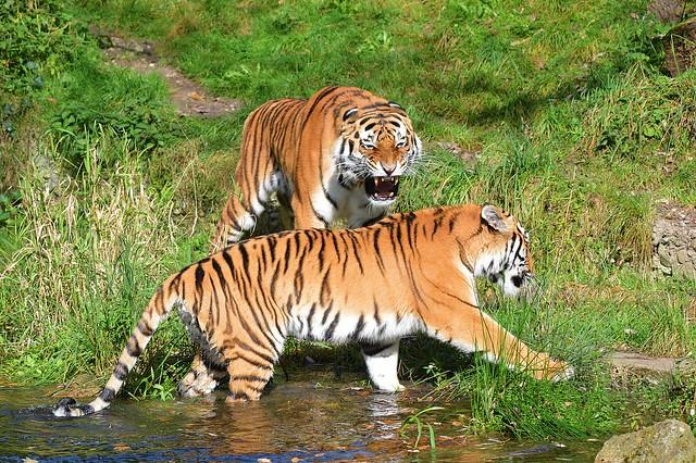 Tiger Jegor und Ahimsa