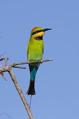 wing(0.0), roller(0.0), animal(1.0), branch(1.0), yellow(1.0), fauna(1.0), coraciiformes(1.0), beak(1.0), bird(1.0),