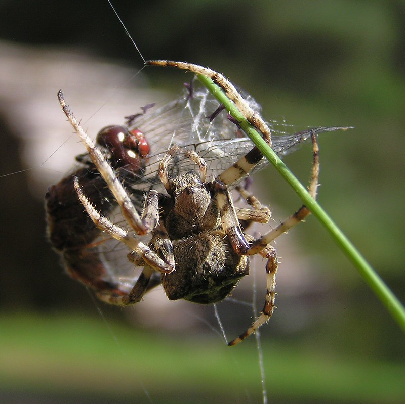 Araneus angulatus ? 15547019166_e3314317c0_c