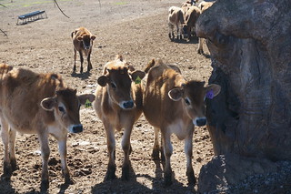 Young curious cows coming over