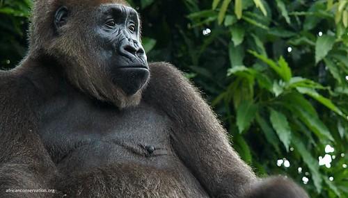 全世界最稀有的猿類,克羅斯河大猩猩。(來源:African Conservation Foundation)
